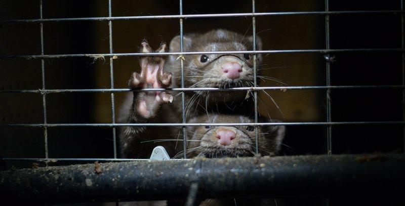 Caged minks/Jo-Anne McArthur hashtag MakeFurHistory