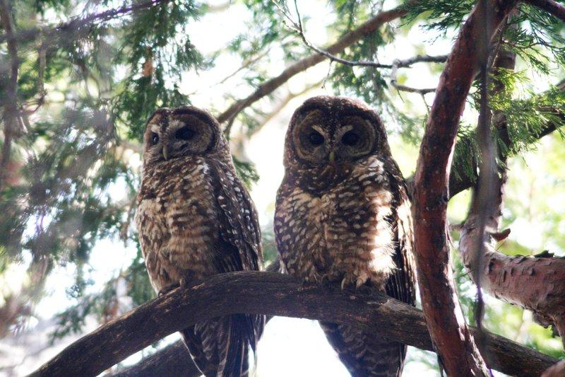 California_spotted_owl_Brett_Hartl_Center_FPWC.JPG
