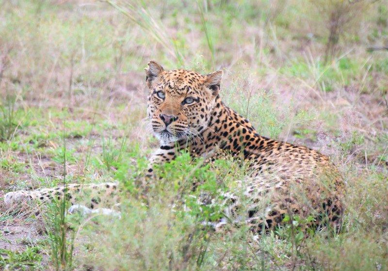 Common Leopard (22) Hartl.JPG