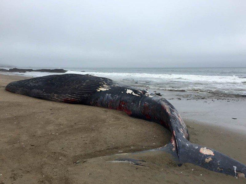 Dead blue whale after ship strike