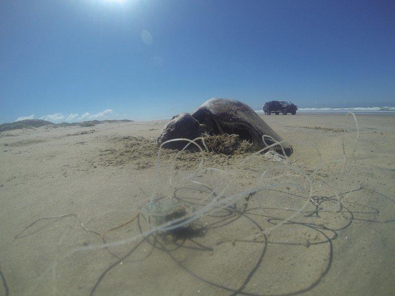 Dead_sea_turtle_by_Alex_Olivera_Center_for_Biological_Diversity_FPWC-scr.jpg