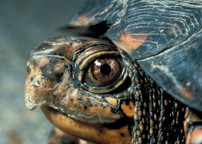 Eastern_Box_Turtle_Head_NPS_FPWC.jpg