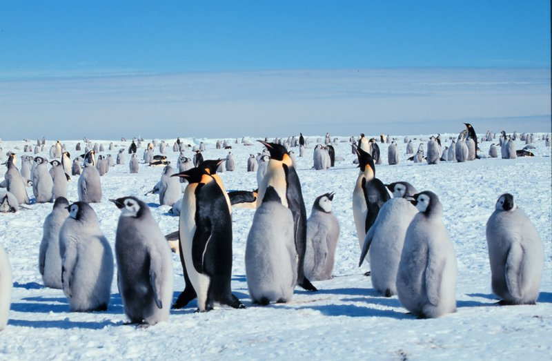 EmperorPenguins_MichaelVanWoert_NOAA.jpg
