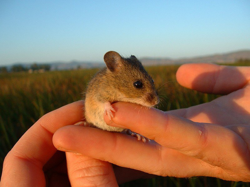 Endangered_salt_marsh_harvest_mouse_USGS_FPWC-scr.jpg