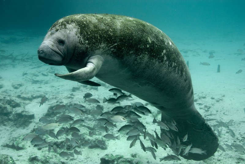 Florida_manatee_Flickr_USFWS_FPWC_commercial_Use_ok.jpg