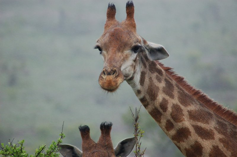 Giraffe-Tanya-Sanerib-Center-for-Biological-Diversity_FPWC-scr.jpg