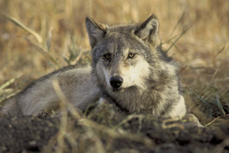 GrayWolf_JohnAndKarenHollingsworth_USFWS_FPWC.jpg