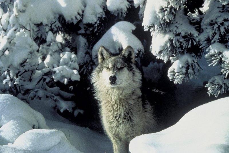 GrayWolf_Tracy_Brooks_Mission_Wolf_USFWS_FPWC_HIGHRES-hpr.jpg
