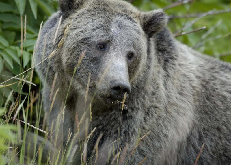 ,000 Reward Offered Over Illegal Shooting of Mother Grizzly Bear in Idaho