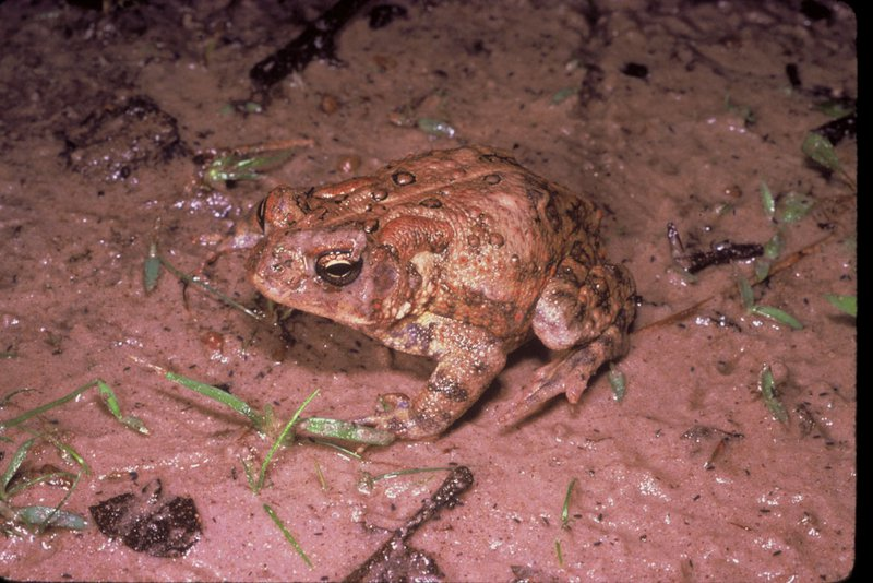 Houston_toad_Dr_Robert_Thomas_U_S_Fish_and_Wildlife_Service_USFW_FPWC.jpg