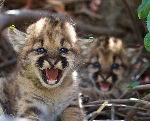 mountain lion cubs.JPG