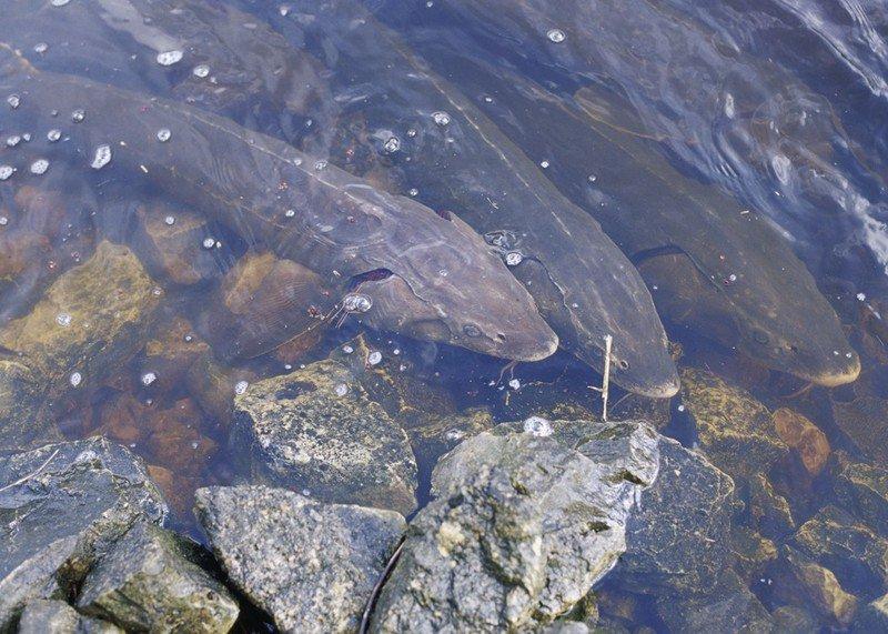 Lake Sturgeon