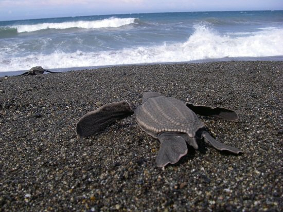 LeatherbackSeaTurtle_ScottRBenson_NOAA_NMFS_SouthwestFisheriesScienceCenter_FPWC_PD_1.jpg