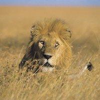 Lion_RobinSilver_FPWC-scr.jpg