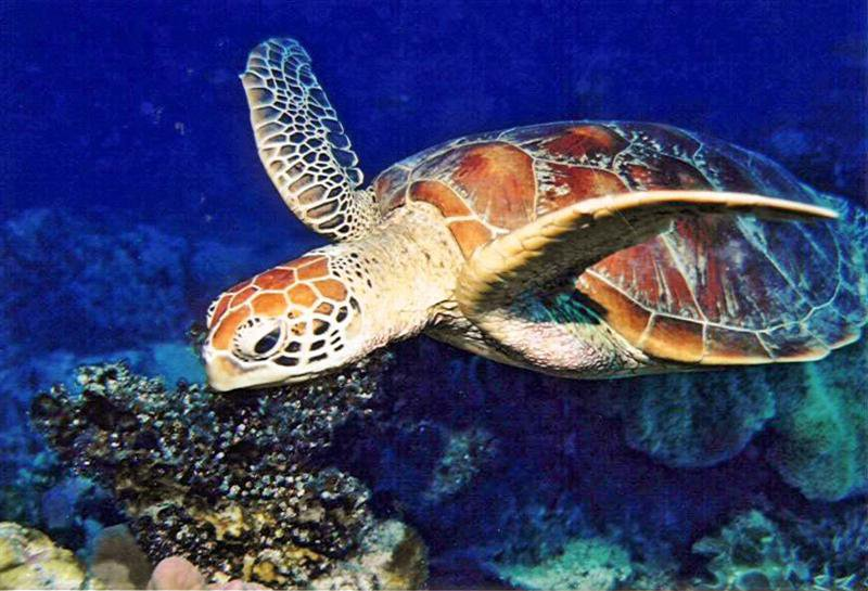 LoggerheadSeaTurtle_PicasaCreativeCommons_JosephAndFarideh_BY-ND_2.jpg