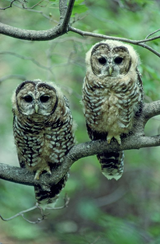 Mexican spotted owls
