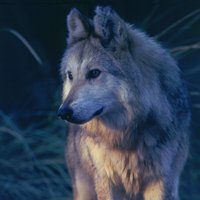 MexicanWolf_RobinSilver_FPWC_2_HIGHRES-hpr.jpg