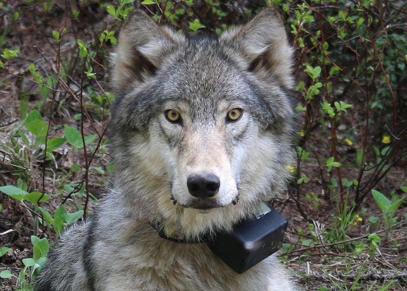 Minam_pack_wolf_June_3_14_ODFW_FPWC.jpg
