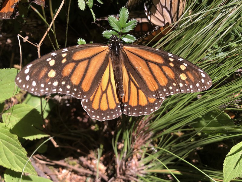 Monarch-butterfly-Lori-Ann-Burd-Center-FPWC-lpr.jpg