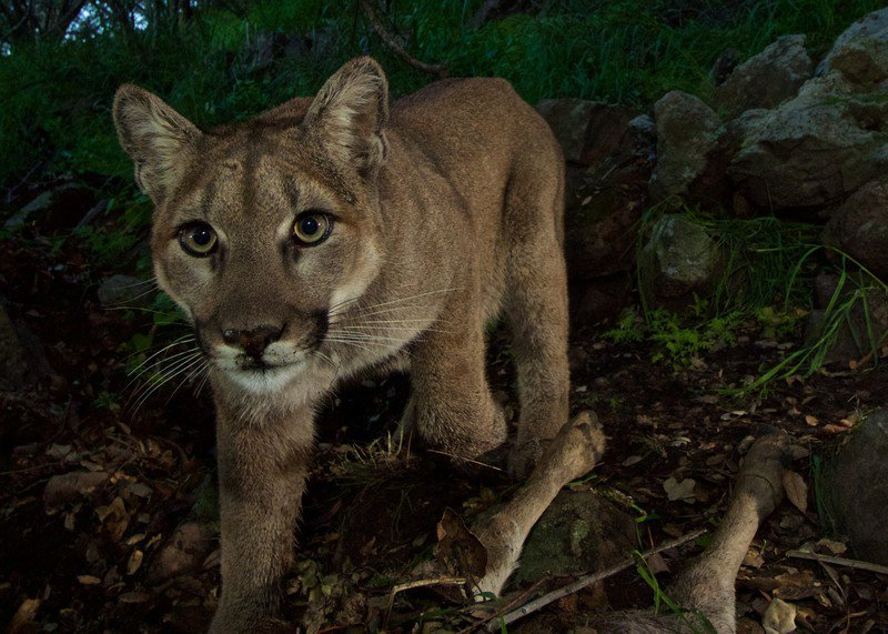 Mountain_lion_P33_NPS_FPWC-scr-1.jpg