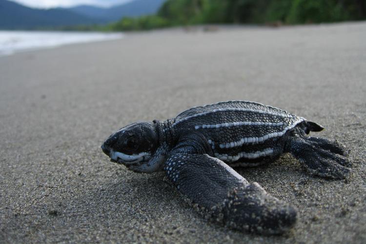Pacific_leatherback_turtle_NOAA.jpg