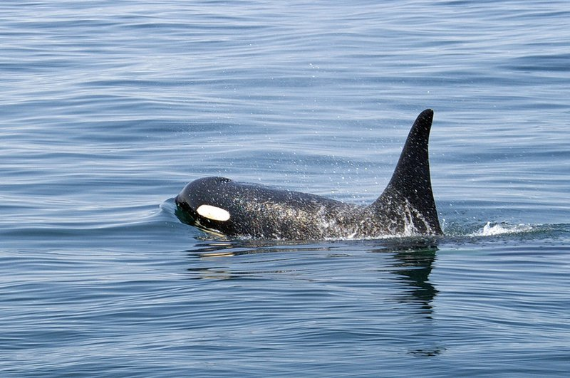 PugetSoundOrca_FlickrCreativeCommons_Malcolm_Surgenor_BY-NC-ND-scr.jpg