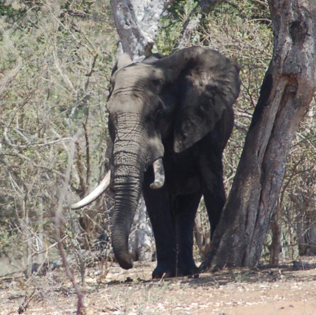 RSAfrican_elephant_Kruger_NP_Tanya_Sanerib_Center_FPWC.png