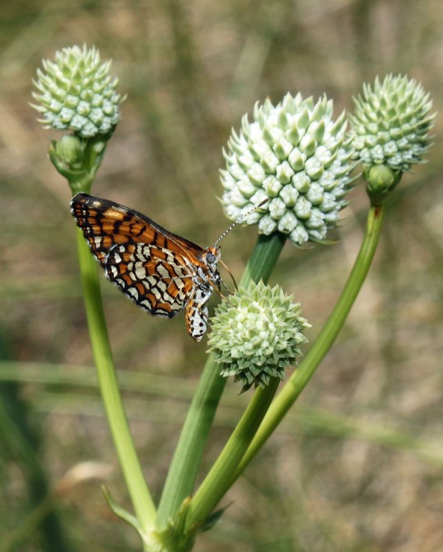RSArizona-Eryngo-and-checkerspot-dymasia-dymas-Elizabeth-Makings-FPWC.jpeg