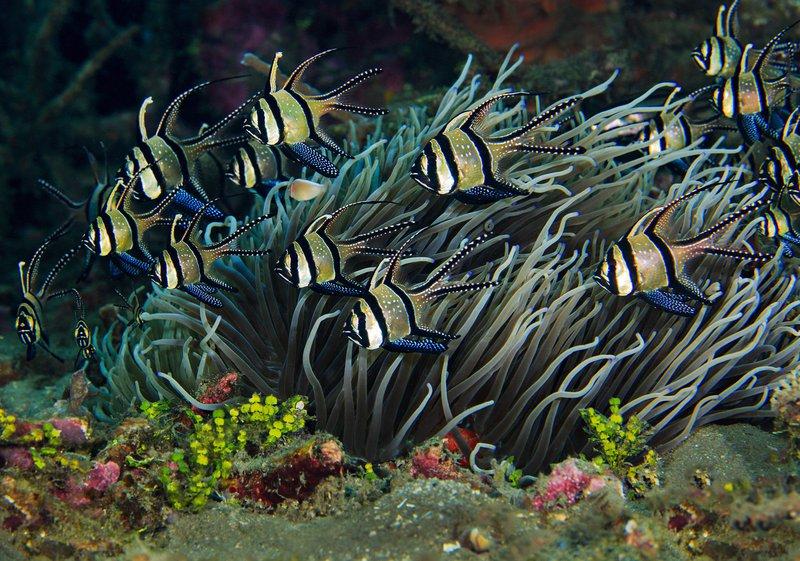 RSBanggai_cardinalfish_Jim_Greenfield_FPWC.jpg