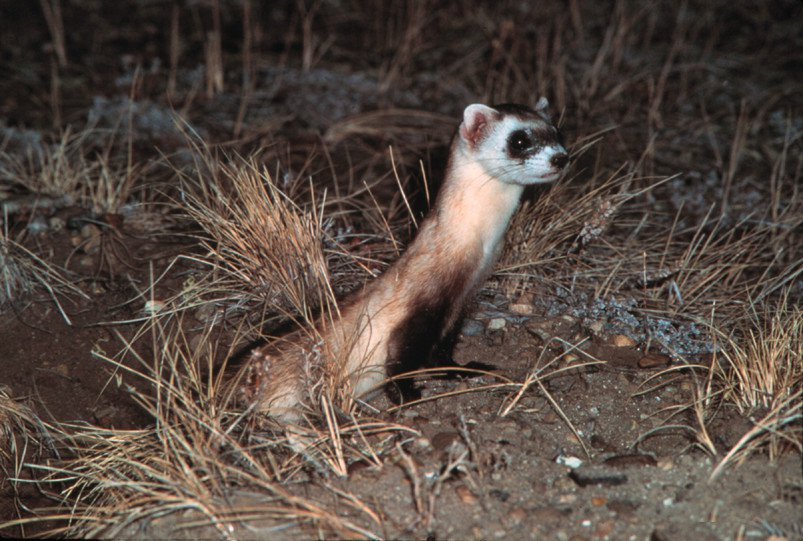 Endangered Black-Footed Ferrets Proposed for Reintroduction Throughout Arizona