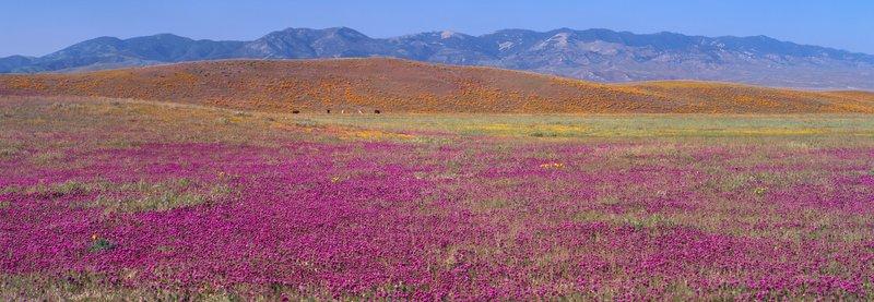 Tejon Centennial wildflowers