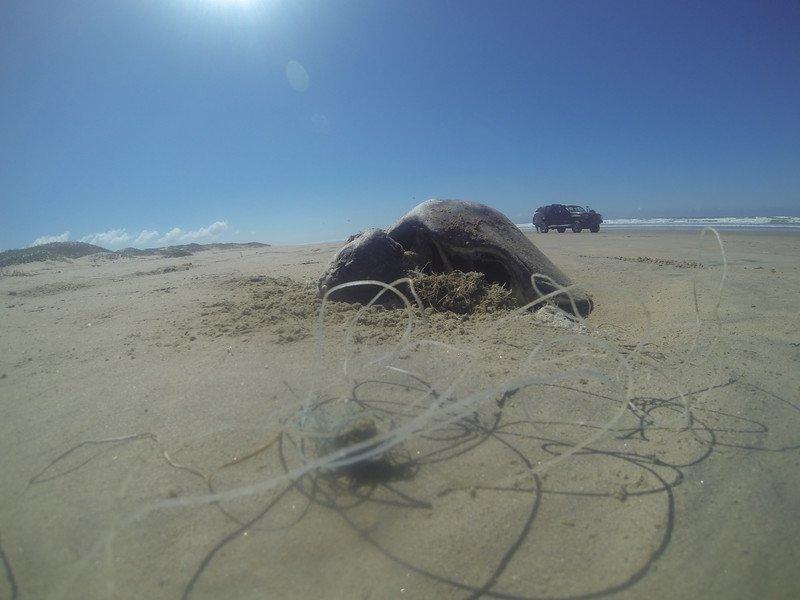 RSDead_sea_turtle_by_Alex_Olivera_Center_for_Biological_Diversity_FPWC-scr.jpg
