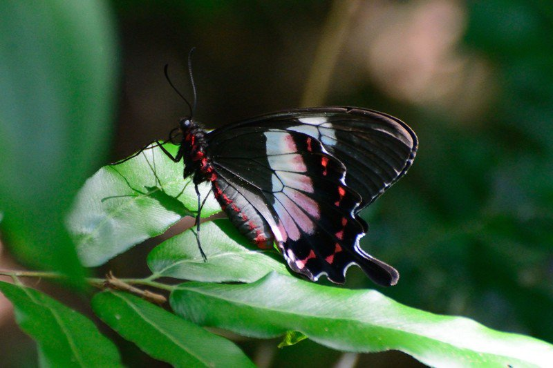 RSFluminense_swallowtail_Joe_Schelling_FPWC_1-scr.jpg