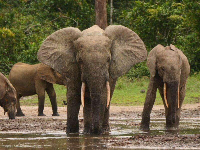 RSForest-Elephants-Brett-Hartl-FPWC-scr.JPG
