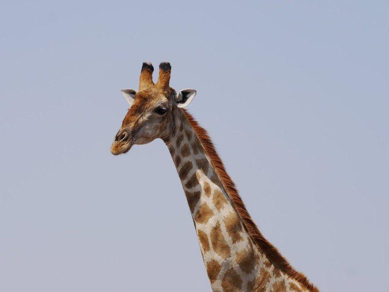 RSGiraffe-Brett-Hartl-FPWC-scr.jpg