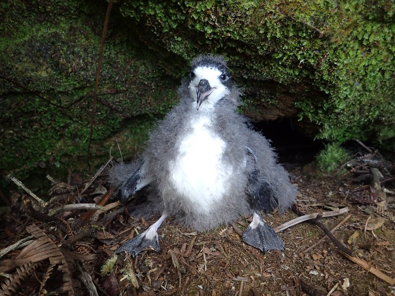 RSHawaiian_petrel_chick_courtesy_USFWS_Andre_Raine_Kaua'i_Endangered_Seabird_Recovery_Project_CC_BY_NC.jpg