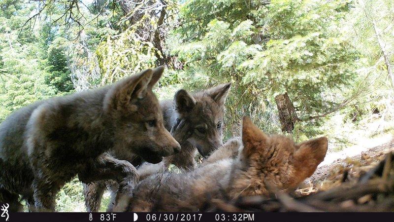 RSLassen-wolf-image41-CDFW-FPWC.jpg