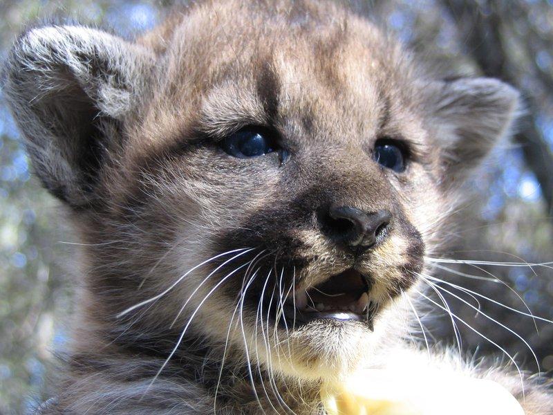 RSMountain_lion_kitten_NPS_FPWC.jpg