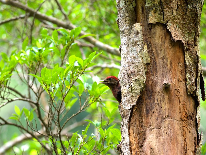 RSOkinawa_Woodpecker_Arco_Huang_FPWC.jpeg