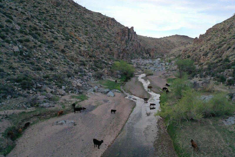 RSPhoto_Cattle_grazing_Agua_Fria_River_Agua_Fria_National_Monument_Russ_McSpadden_FPWC-scr.JPG