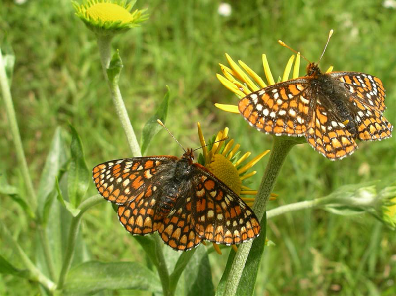 RSSacramento_Mountains_checkerspot_butterfly_USFWS_FPWC.png