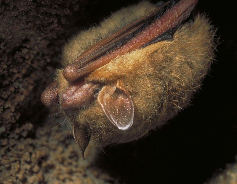 RSTricolored_bat_Perimyotis_subflavus_Missouri_Department_of_Conservation_FPWC.jpg