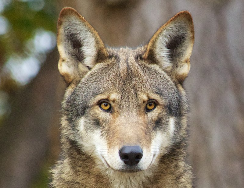 Red_Wolf_B_Bartel_USFWS_FPWC.jpg