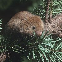 Red_tree_vole_Stephen_DeStefano_USGS_FPWC.jpg