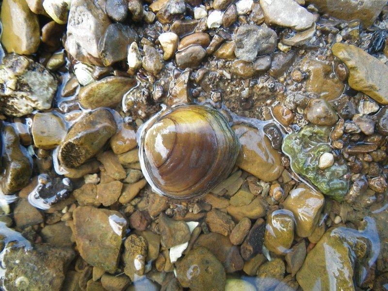 Round-hickorynut-mussel-USFWS-FPWC.jpg