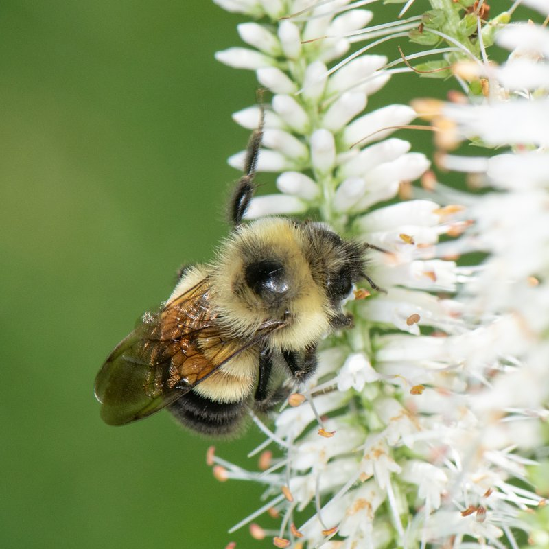 Rusty_patched_bumble_bee_Heather_Holm_FPWC.jpg