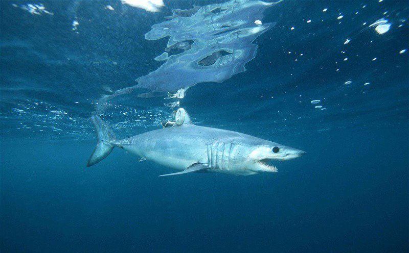 Shortfin_mako_shark_Southwest_Fisheries_Science_Center_NOAA_FPWC-scr.jpg