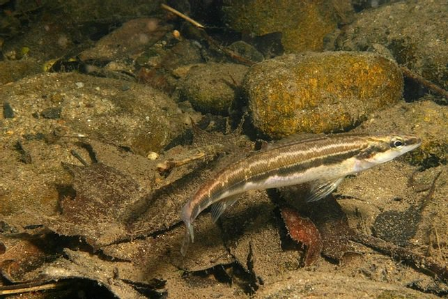Sickle_Darter_Conservation_Fisheries_Inc_FPWC-3.jpg