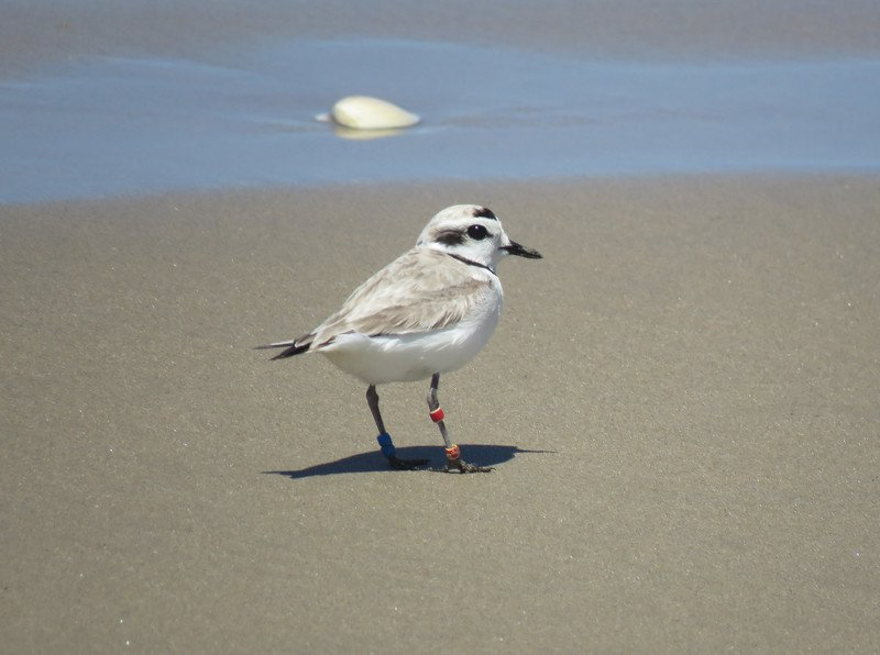 Snowy_Plover_By_Jeff_Miller_Center_For_Biological_Diversity-scr copy 2.jpg