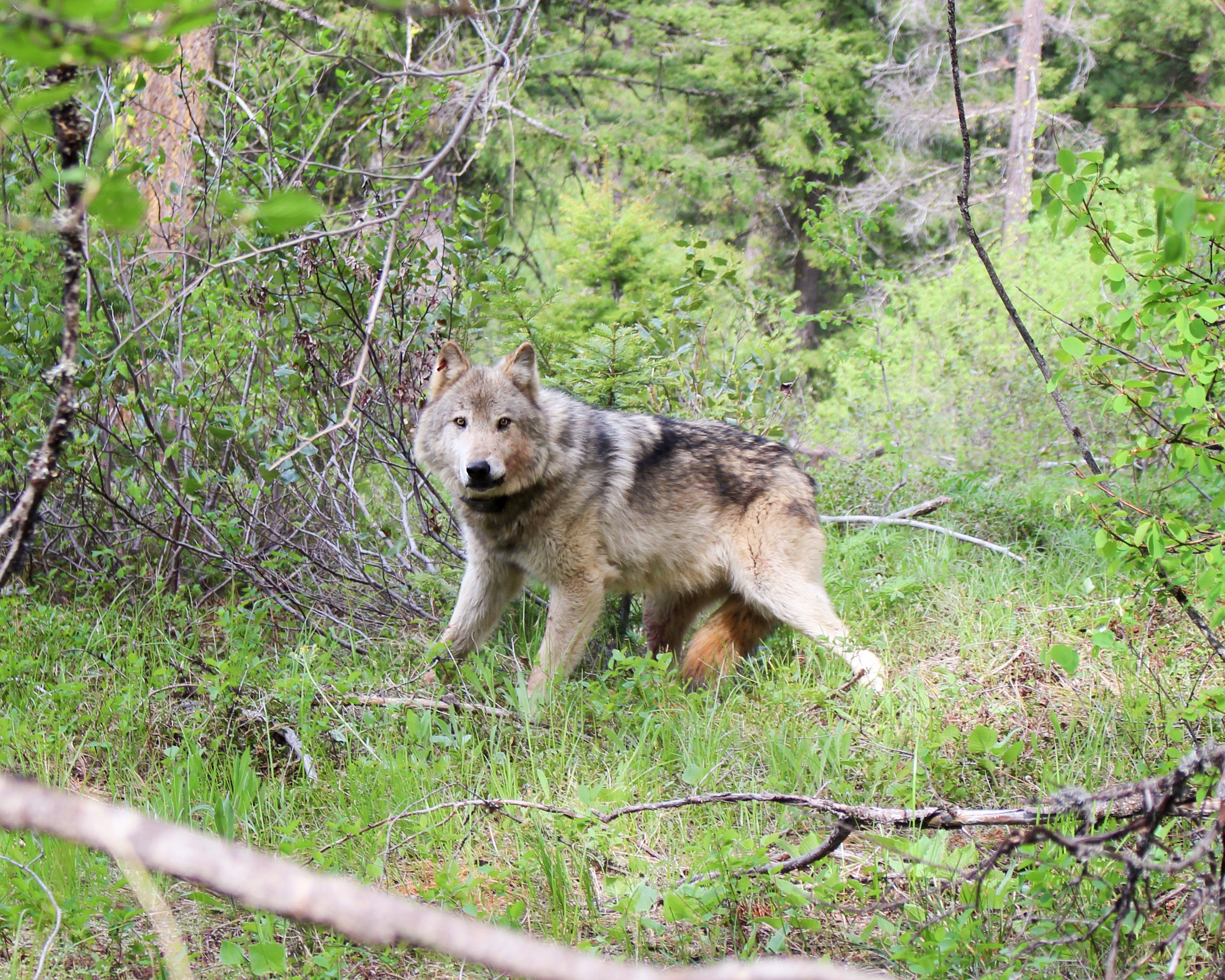Washington's Wolf Population Increased 22% in 2020 - Center for Biological  Diversity